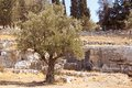 Garden of Gethsemane. Thousand years old olive trees.