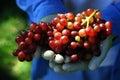 Garden Grapes Stock Image