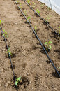 Garden irrigation a drip tape system installed in a greenhouse with plant saplings Royalty Free Stock Photos
