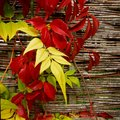 A garden ivy creeper leaves changing to autumn or fall colours