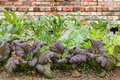 Garden with leafy vegetables Royalty Free Stock Photo