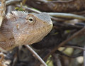 Garden lizard or chameleon macro closeup portrait Stock Photo