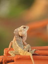 Garden lizard taking morning sunbath as a reptile is cold blooded and that s why its body temperature vary according to surrounds Stock Photo