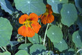 Garden Nasturtium In Bloom