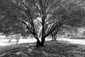 Garden with olive big trees in a black and white image Stock Photos