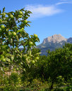 Garden with orange tree bearing plenty of unripe green fruits in soller valley majorca spain in october Royalty Free Stock Photo