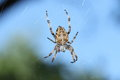 Garden orb spider on its web Stock Image