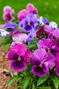 Garden pansies colorful and vibrant pansy flowers growing in the home Royalty Free Stock Photography