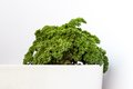 Garden parsley fresh in flowerpot on white background Royalty Free Stock Images