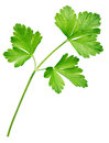 Garden parsley herb (coriander) leaf isolated on white Royalty Free Stock Photo