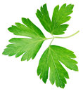 Garden parsley herb coriander leaf isolated on white Royalty Free Stock Photo