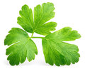 Garden parsley herb (cilantro) leaf isolated on white Royalty Free Stock Photo