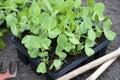 Garden Pea Plants Royalty Free Stock Photo