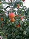 garden peach Royalty Free Stock Photo