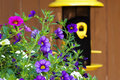 Garden petunia flowers bird feeder pink and purple and white petunias with bright yellow and black softly blurred in background Stock Photo