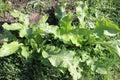 Garden plant horse-radish Royalty Free Stock Photo