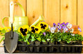 Garden planting with daisies violas watering can trowel and pots on wood background Stock Image