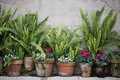 Garden pots with ferns row of terra cotta and cyclamens Royalty Free Stock Images