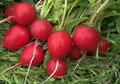 Garden radish Royalty Free Stock Photo
