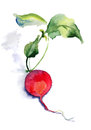 Garden radish red watercolor illustration Royalty Free Stock Photo