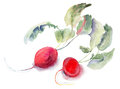 Garden radish, watercolor illustration Stock Photos