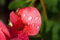 Garden red rose covered with water droplets closeup Stock Images
