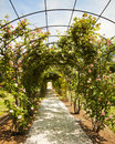 Garden with rose arch beautiful of rambling roses in a public park in nervi Royalty Free Stock Photography