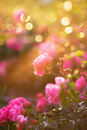 Garden rose in the light of evening sun Royalty Free Stock Photography