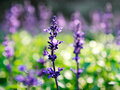 Garden sage Royalty Free Stock Photo