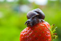 Garden snail creeps on a berry of a ripe strawberry creeping red small depth sharpness focus Royalty Free Stock Images