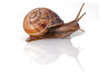 Garden snail in front of white background Stock Photography