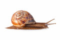 Garden snail in front of white background Stock Image