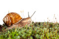 Garden snail in moss Royalty Free Stock Photo