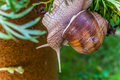 Garden snail slide on garden leafs, upside down Royalty Free Stock Photo