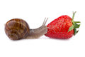 Garden snail and strawberry on white Stock Images