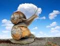 Garden snails helix aspersa on blue sky Royalty Free Stock Images