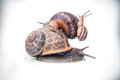 Garden snails on top of each other may sugest family values Royalty Free Stock Image