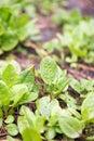 Garden sorrel Royalty Free Stock Photo