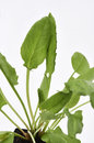 Garden sorrel leaves a close up of the Royalty Free Stock Image