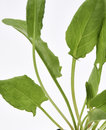 Garden sorrel leaves a close up of the Stock Images