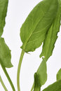 Garden sorrel leaves a close up of the Stock Photo