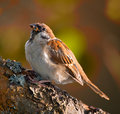 Garden sparrow Royalty Free Stock Photo