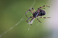 Garden spider european on its net on green Stock Image