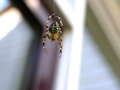 Garden spider hanging on thread Royalty Free Stock Photo