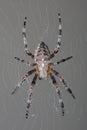 Garden Spider In Her Web