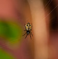 Garden spider sitting on web Royalty Free Stock Image
