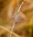 Garden spider spinning a web yellow black in her spiderweb Stock Images