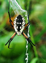 Garden spider on web a black and yellow in a Stock Photo