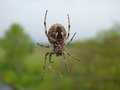 Garden spider on web with blurred background Royalty Free Stock Photo