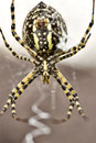 Garden Spider Yellow and Black Royalty Free Stock Photo